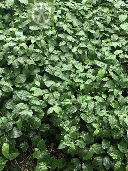 Piper albispicum