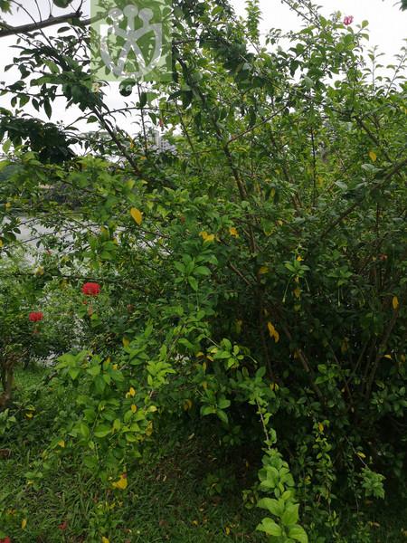 Hibiscus schizopetalus