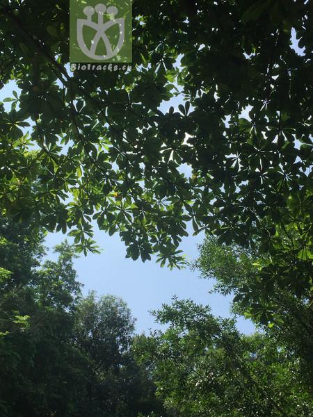 Elaeocarpus sp.
