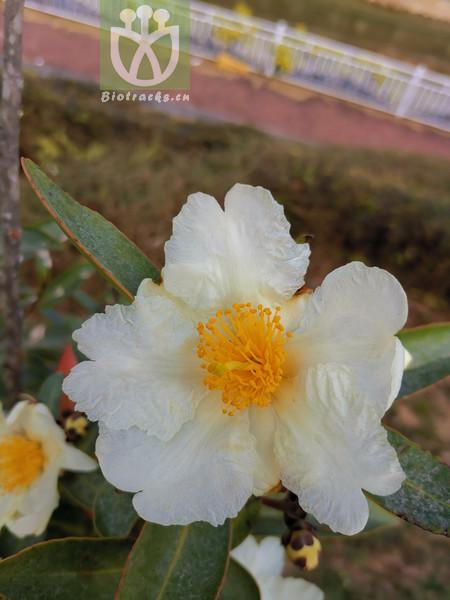 Hypericum bonaparteae
