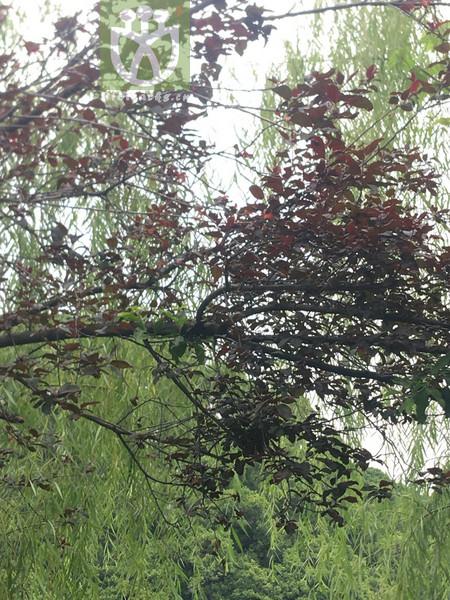 Caryopteris aureoglandulosa