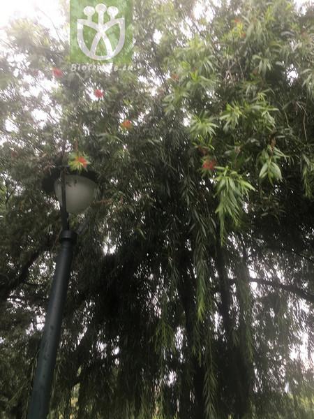 Daphne tenuiflora var. legendrei