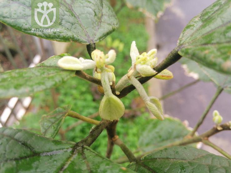 Reevesia rotundifolia