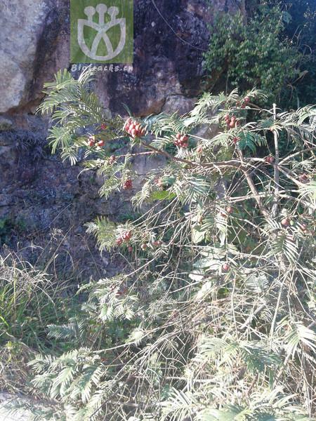 Cephalotaxus fortunei var. fortunei