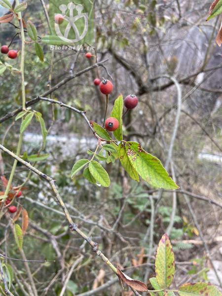 Fedia scabiosifolia