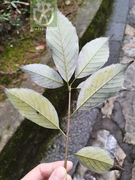 Cyclobalanopsis multinervis