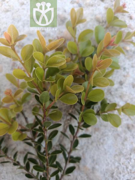 Buxus sp.