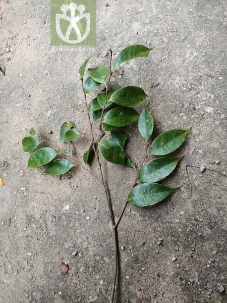 Castanopsis carlesii