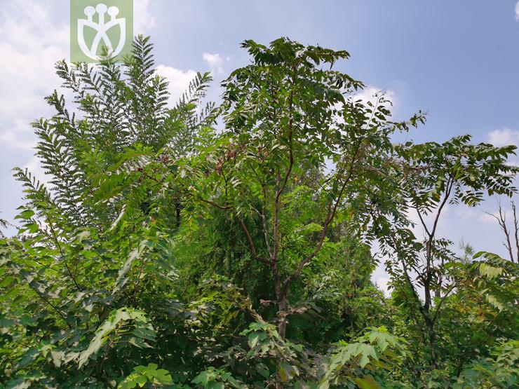 Ailanthus giraldii