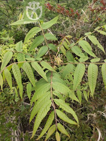 Ailanthus sp.