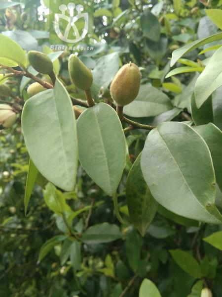 Rhamnus chimalapensis