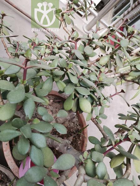 Cheiridopsis excavata
