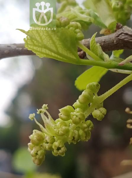 Ilex rosmarinifolia