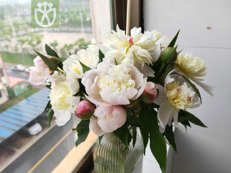 Paeonia lactiflora var. lactiflora
