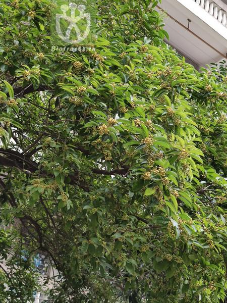 Caryopteris terniflora