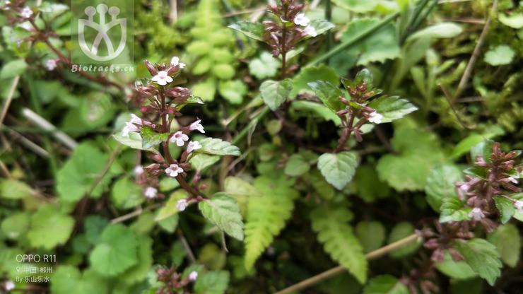 Clinopodium gracile