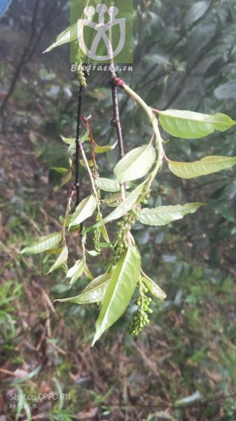 Prunus grayana