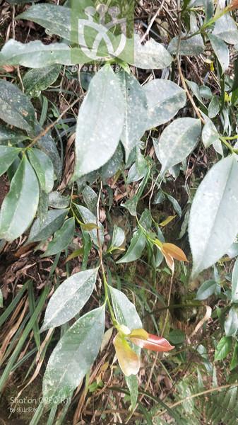 Coldenia ferreyrae