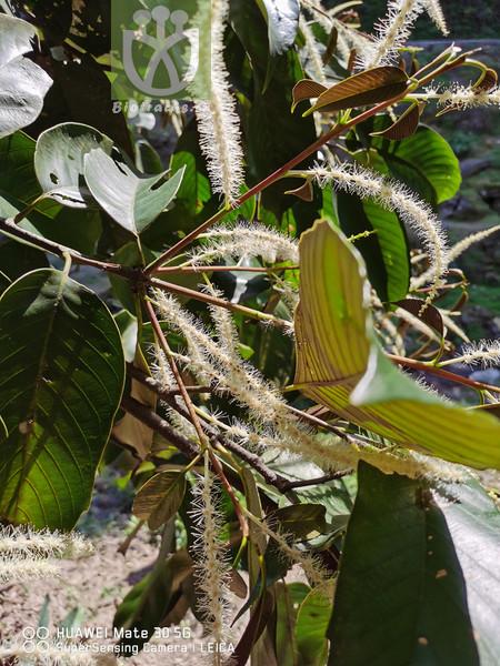 Castanopsis tibetana