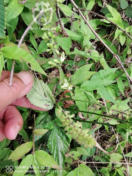 Salvia liguliloba