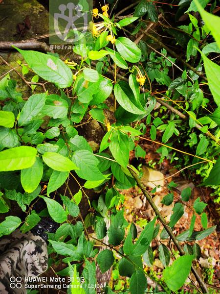 Lonicera macrantha