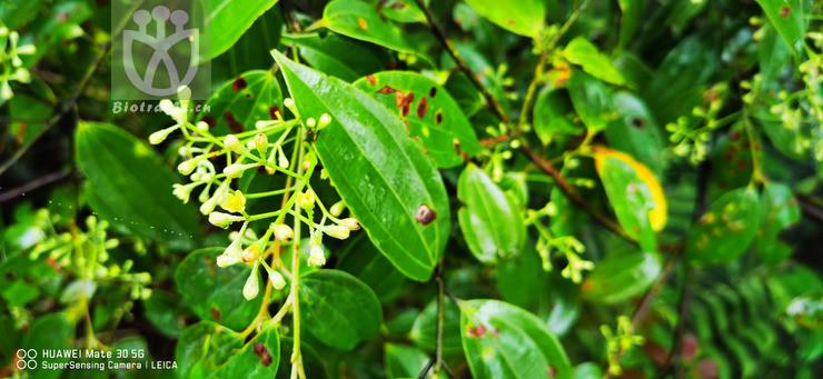 Cinnamomum subavenium