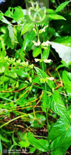 Salvia chinensis
