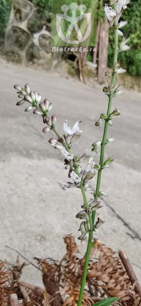 Salvia cavaleriei