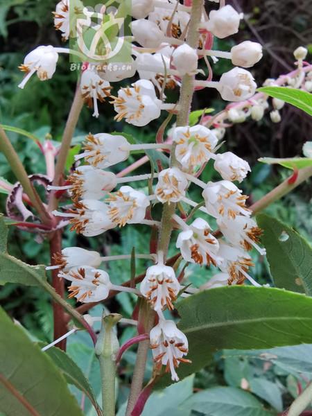 Clethra cavaleriei