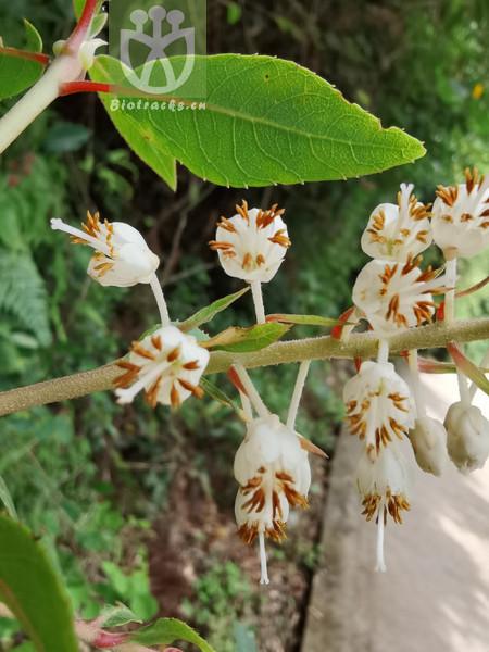 Clethra nanchuanensis
