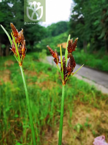 Fimbristylis brevifolia