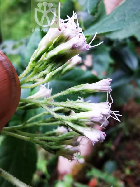 Eupatorium japonicum