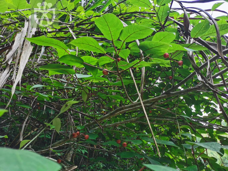 Ficus sieboldii