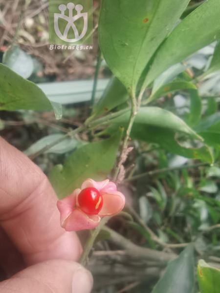 Euonymus ellipticus