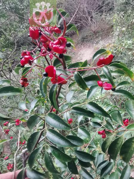 Euscaphis japonica