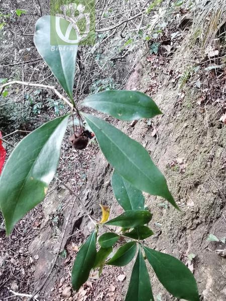 Pittosporum illicioides