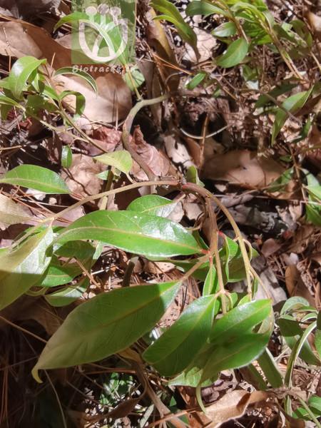 Dysophylla yatabeana