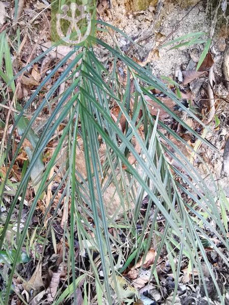 Artemisia stracheyi