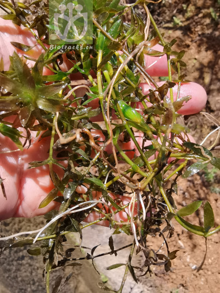 Hydrilla najadifolia
