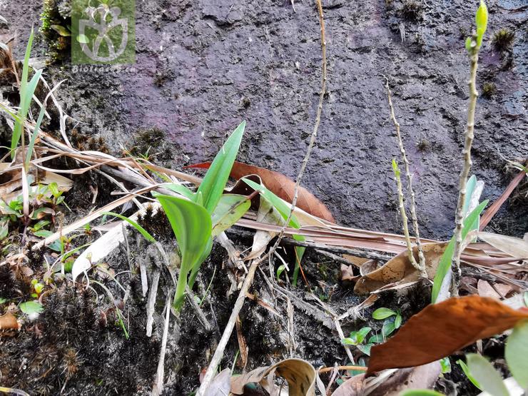 Pyrularia edulis