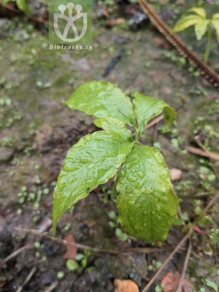 Daphne stenophylla