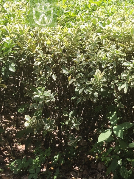 Cercocarpus mojadensis var. pringlei