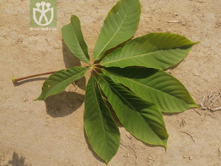 Aesculus sinensis