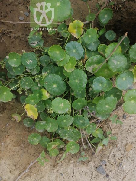 Hydrocotyle vulgaris