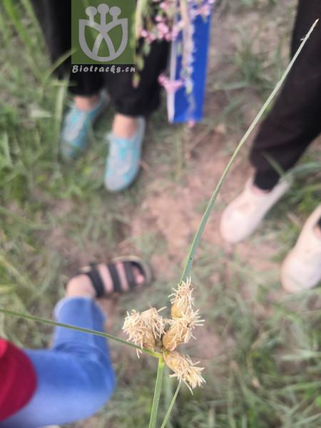 Bolboschoenus planiculmis