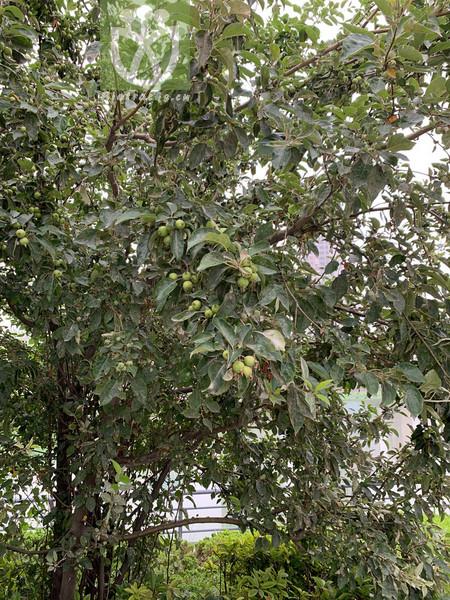 Salvia scapiformis var. hirsuta