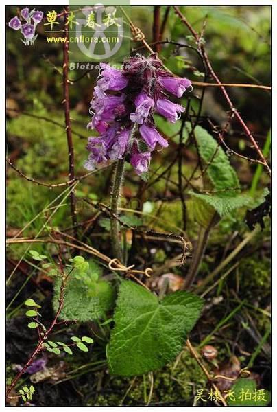 Salvia brachyloma