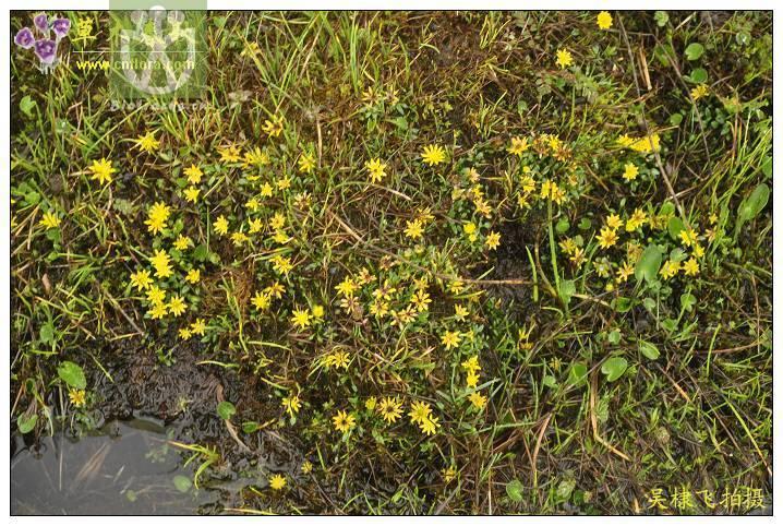 Oxygraphis tenuifolia