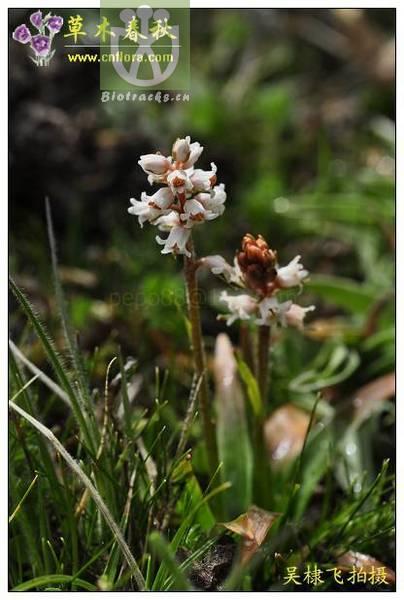 Aletris pauciflora var. khasiana