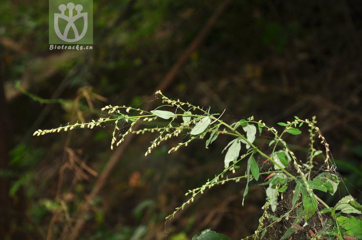 Artemisia igniaria